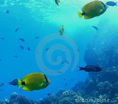 School of Butterflyfish