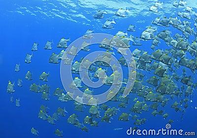 School of Dartfish
