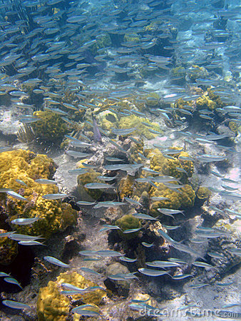 Free School Of Silver Fish, Puerto Rico, Caribbean Royalty Free Stock Images - 800419