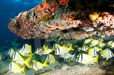 School of Porkfish