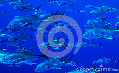 School of predator fishes