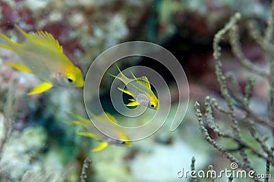 School of pretty smalls yellow coral fishes