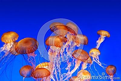School of sea nettle jellyfish