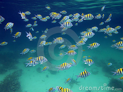 School of sergeant-major fish