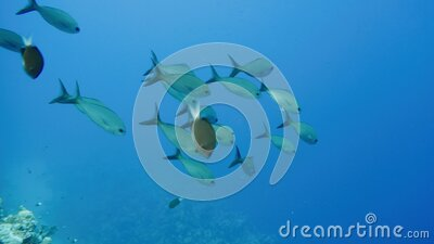 School of tropical fish in a colorful coral reef with water surface in background, Red sea, Egypt. stock video footage