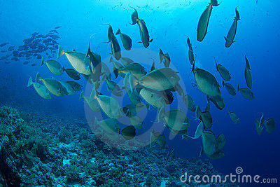 School of unicornfish