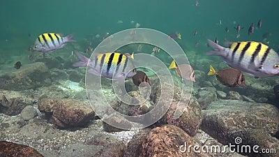 School of Whitespotted Surgeonfish Acanthurus guttatus and Indo-Pacific sergeant Abudefduf vaigiensis in Los Isoletes island stock video