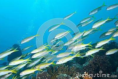 A school of Yellowfin goatfish