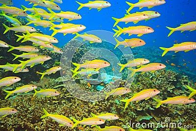 School of Yellowfin goatfish