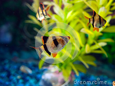 School of Zebra Tetra fish