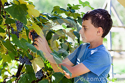Schoolboy picking grapes from vines