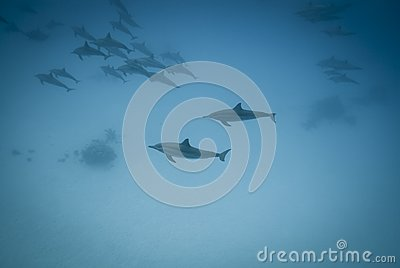 Schooling Spinner dolphins in the wild.