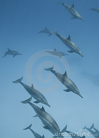 Schooling wild Spinner dolphins.