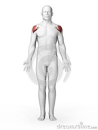 Schoulder muscles