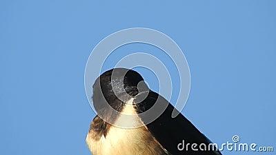 Schwalbenvogel auf blauem Hintergrund stock video