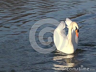 Schwan, der auf einen Teich schwimmt stock video