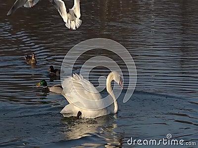 Schwan, der auf einen Teich schwimmt stock video footage