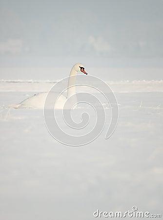 Schwan im Schnee