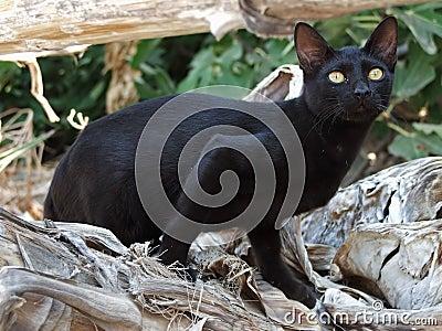 Schwarze griechische Katze lauert