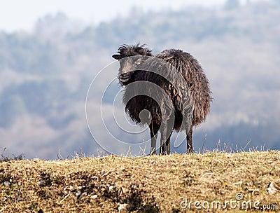 Schwarze inländische Schafe