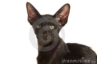 Schwarze siamesische Katze