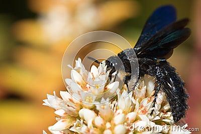 schwarze wespe von der seite stockfoto bild 40962615. Black Bedroom Furniture Sets. Home Design Ideas