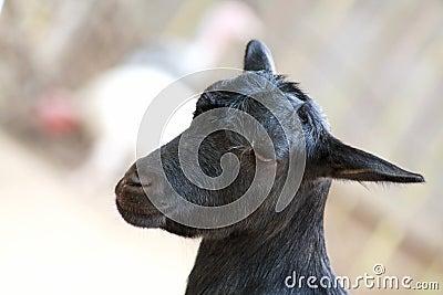 Schwarze Ziege