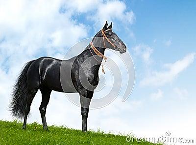 Schwarzer akhal-teke Stallion - realistischer Fotomontage