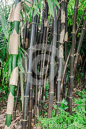 schwarzer bambus stockfoto bild 58744296. Black Bedroom Furniture Sets. Home Design Ideas