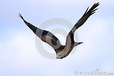 Schwarzer Drachen im Flug