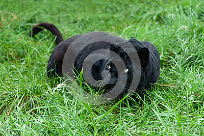 Schwarzer Leopard, der im langen Gras sich anpirscht