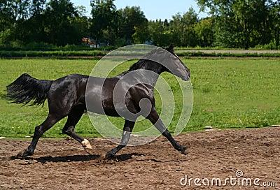 Schwarzer Stallion in Bewegung