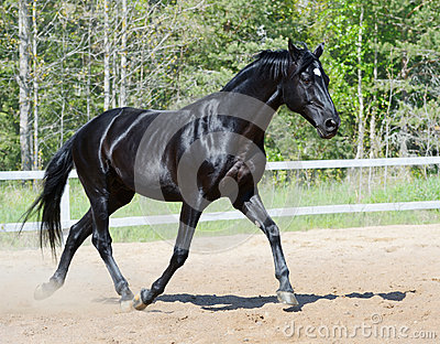 Schwarzer Stallion in der Bewegung