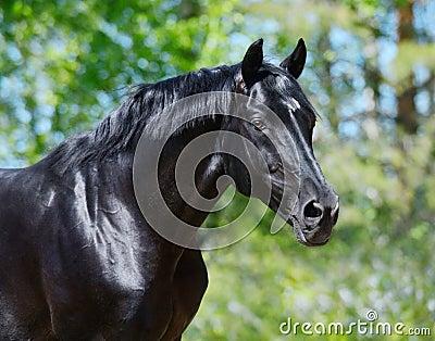 Schwarzer Stallion der russischen Reitzucht