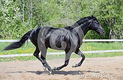 Schwarzer Stallion der russischen Reitzucht in der Bewegung