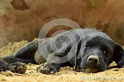 Schwarzer Welpenhundeschlaf auf Sand