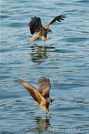 Schwarzes kite_04