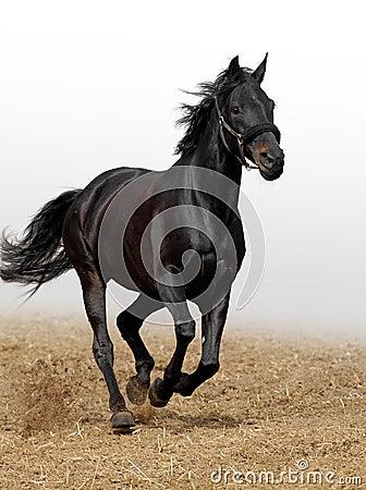 Schwarzes Pferd