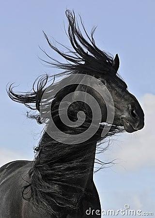 Schwarzes Pferdenportrait des Frisian