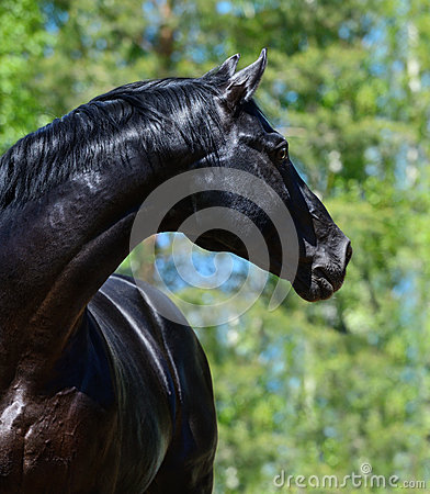 Schwarzes reinrassiges Pferd