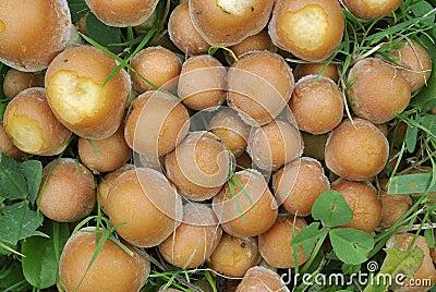 Schwefel-Büschel-Pilze