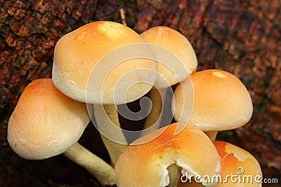 Schwefelbüschelpilz