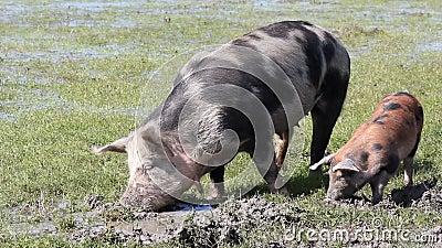 Schweine in einem Schlamm