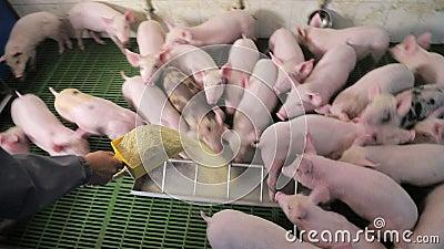 Schweine essen Nahrung, indem sie sich gegenseitig auf einem Schweinezuchtbetrieb schieben Schweine, die aus einem Trog essen
