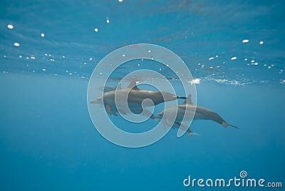 Schwimmende wilde Spinnerdelphine.