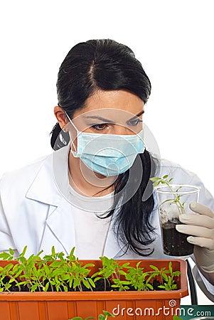 Scientist examine new plant of tomato