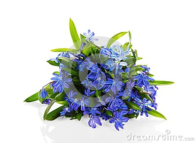 Scilla blue flowers isolated on white