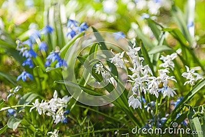 scilla sibirica blaue und wei e fr hlingsblumen stockfoto bild 48465436. Black Bedroom Furniture Sets. Home Design Ideas