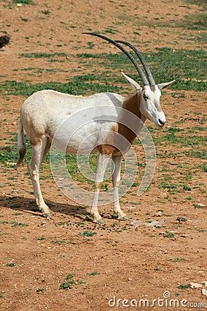 Scimitar horned oryx - African savvanah animal