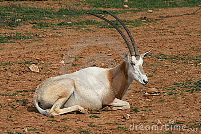 Scimitar horned oryx - African savvanah animal